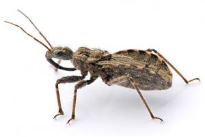 Adult Assassian Bug  Photo credit: en.wikipedia.org