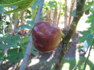 A ripe 'Brown Turkey' fig is just about ready to be picked. Photo credit: Forest and Kim Starr