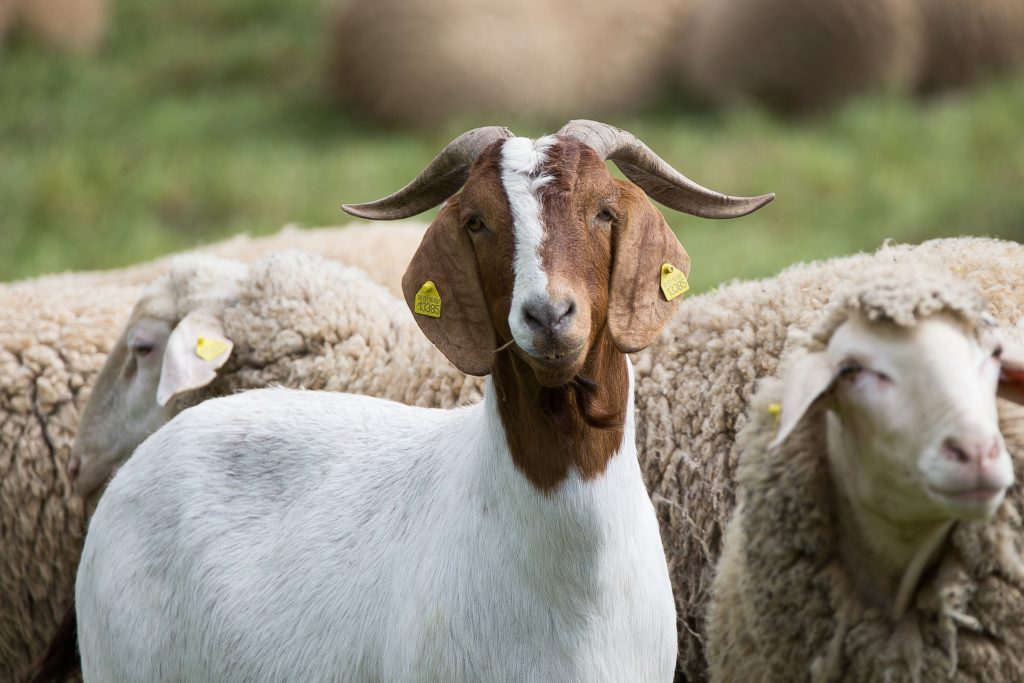 picture of goat and sheep