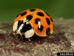 Multicolored Asian lady beetle Gyorgy Csoka, Hungary Forest Research Institute, Bugwood.org
