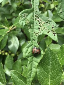 Adult Japanese beetles and their damage