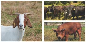 livestock series