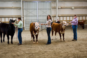 showing cattle